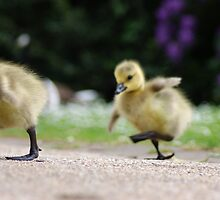 Gosling Crossing by EyeDefinition