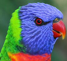 Lorikeet Portrait by Steve Bass