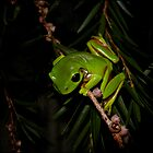 tree frog by Helenvandy