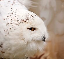 Snowy Owl head profile by Stephen Lawlor