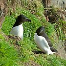 Razorbill necking by jaffa