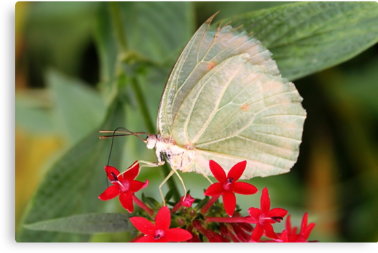 White Angled-sulphur - Anteos clorinde by Lepidoptera