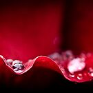 Rain drop on rose petal by Oscar Gutierrez