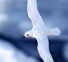 Snow Petrel by Doug Thost
