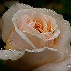 Delicate rose in the rain by Celeste Mookherjee