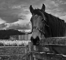 horsey horse  fox glacier  south westland  nz by rina  thompson