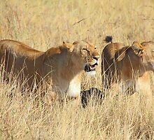 Female Lions Guarding the Kill, Maasai Mara, Kenya  by Carole-Anne