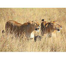 Female Lions Guarding the Kill, Maasai Mara, Kenya  Photographic Print