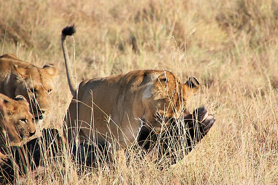 Female Lion Moving the Kill, Maasai Mara, Kenya  by Carole-Anne