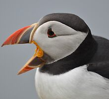 Laughing Puffin by ApeArt