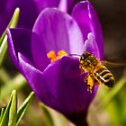 Crocus attracting a buzzing bee. by Birgit Van den Broeck