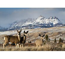Ramshorn - What A Setting for These Blacktail Deer Photographic Print