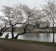 Cherry Blossoms, Newark by Jason Teeple