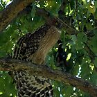 Brown fish owl, India by Nirmal  Ghosh