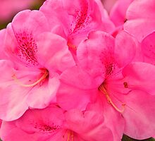 pink rhododendron flowers by Steve