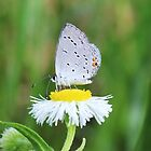 butterfly on flower by SusieG