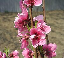 Peach blossoms by MONIGABI