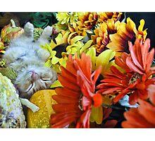 Di Milo ~ Autumn Harvest ~ Kitty Cat Kitten in Fall Colors Photographic Print