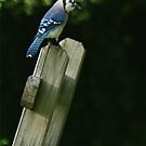 Blue Jay by RockyWalley