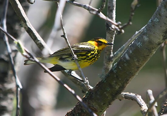 Cape May Warbler (Male) by Vickie Emms