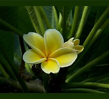 Lemon Drop Frangipani - Essence by jono johnson