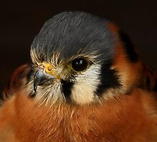 The American Kestrel Up Close by Mark Hughes