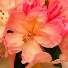 rhododendron in sunlight by Eileen O'Rourke