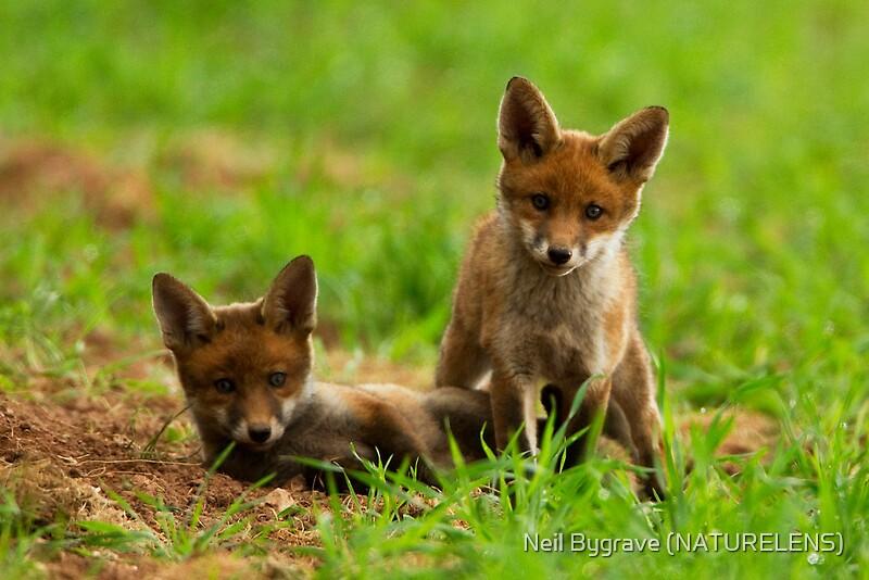 flat 800x800 070 f jpgRed Fox Cubs