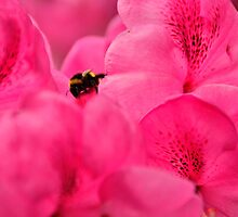 Pink Rhododendron Flowers with Bee by Steve