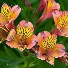 peruvian lilies by David Chesluk