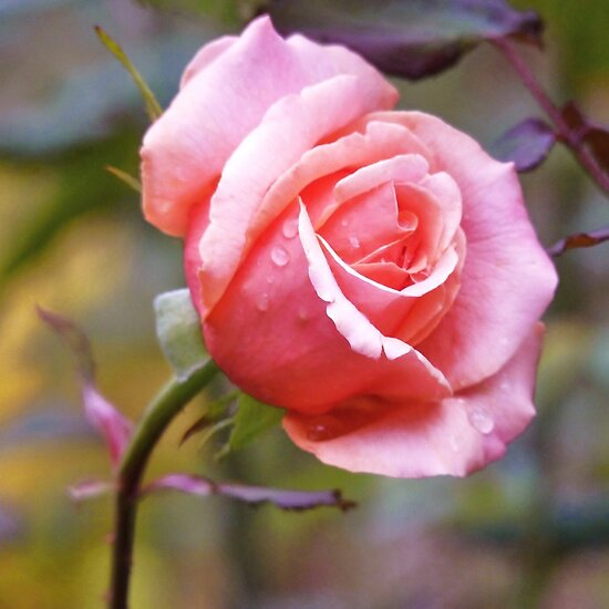 Just another Rose by Meg Hart