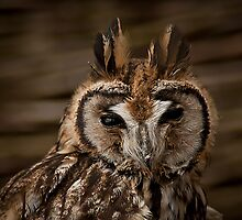 Long Eared Owl by KWTImages