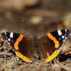 Red Admiral by KWTImages