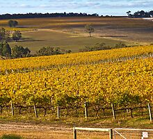 Autumn Vineyard - May 2011 by pennyswork