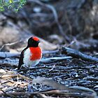 red-capped robin by jeroenvanveen
