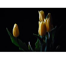 Yellow tulip in black background  Photographic Print