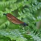 Demoiselle Agrion by relayer51