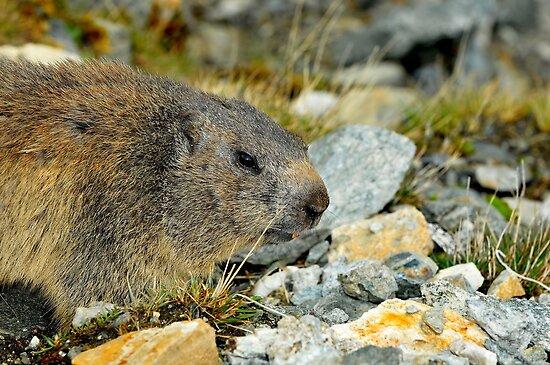 Wild Marmot by neil harrison