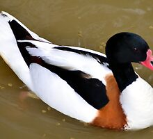 Common Shelduck by Steve