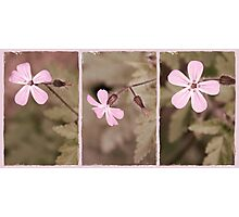 Pale Pink Triptych Photographic Print