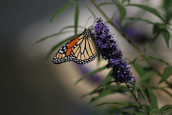 Monarch by guppyman