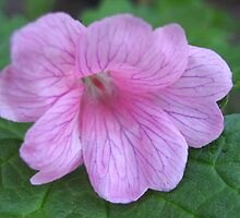 Soft and Gentle - Pink Geranium by BlueMoonRose