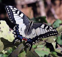 Swallowtail butterfly on oak leaves by nymphalid