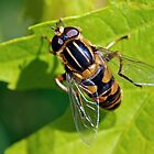 Hover Fly Macro by Robin Clifton