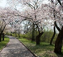Cherry Blossoms in High Park by Gary Chapple