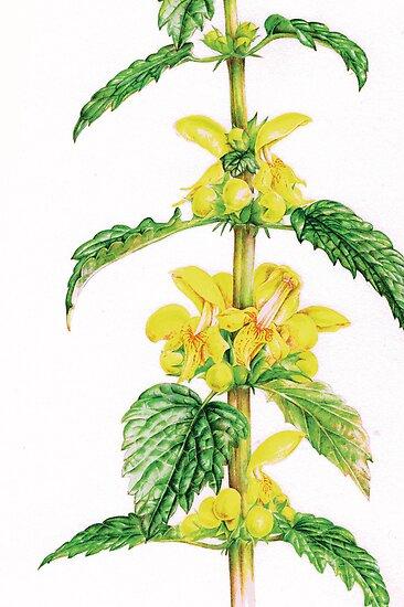 Yellow Archangel - Lamiastrum galeobdolon by Sarah Trett