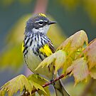 Yellow Rumped Warbler by Daniel  Parent