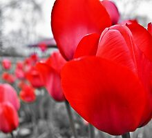 Red Tulips Spring Bloom by JasonAllman