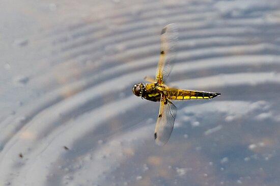 Dragonfly in flight over pond by Gary Eason + Flight Artworks