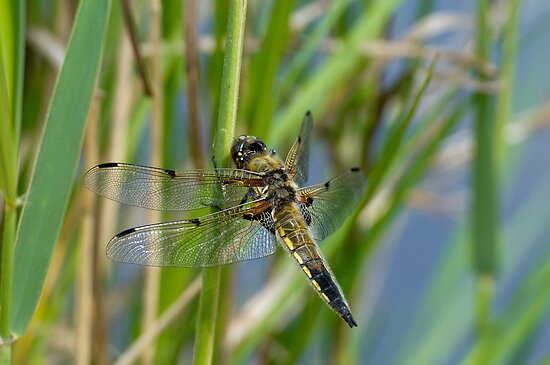 Dragonfly on reed by Gary Eason + Flight Artworks